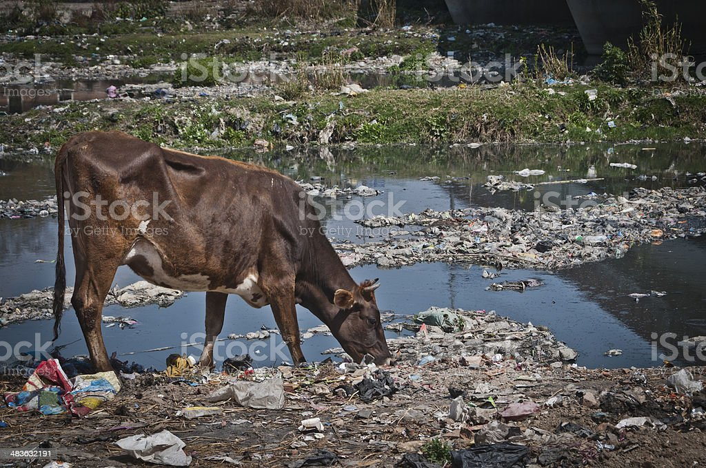 Polluted River Bank, Cow Feeding on Garbage, Kathmandu, Nepal stock photo