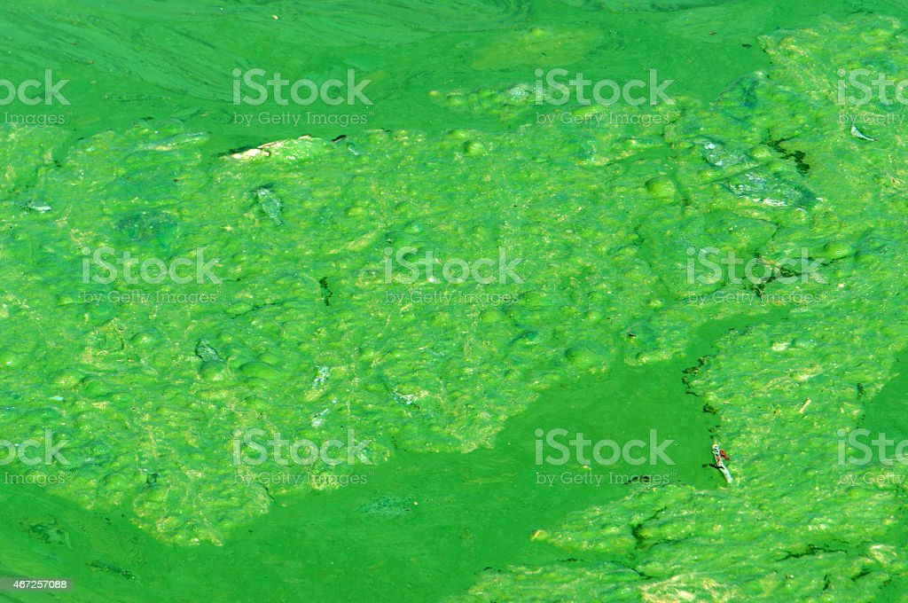 Polluted water, green algae stock photo