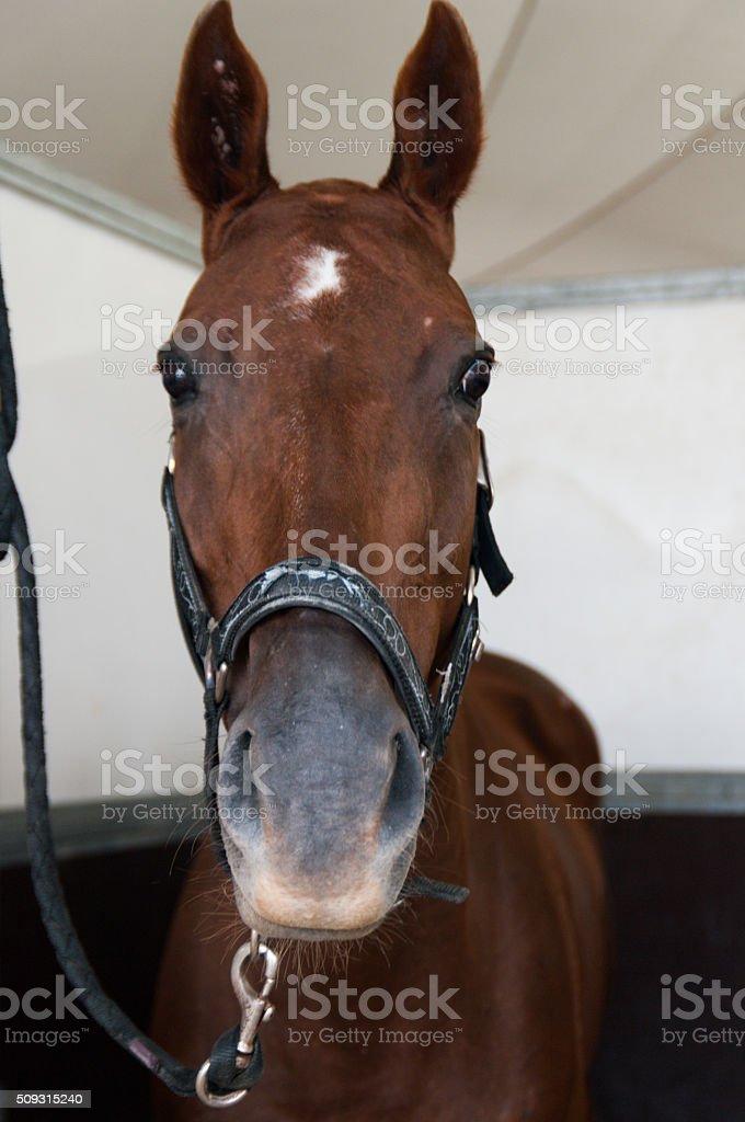 Polo horse, stock photo