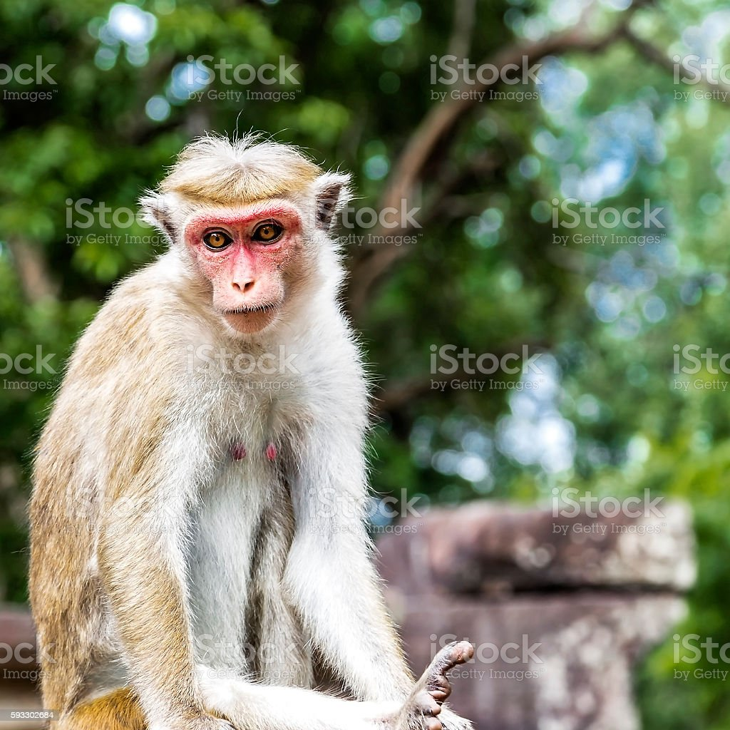 Polonnaruwa Monkey stock photo