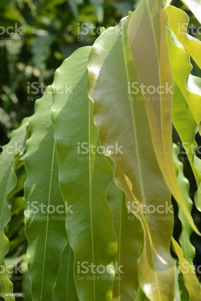 Polyalthia asoka trees stock photo