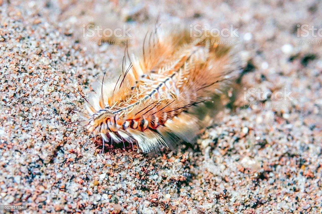 Polychaeta or polychaetes bristle worm stock photo
