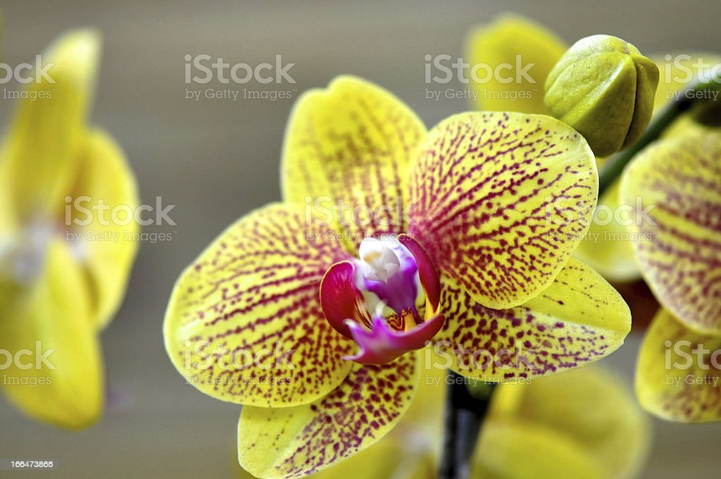 Polychrome butterfuly orchids royalty-free stock photo