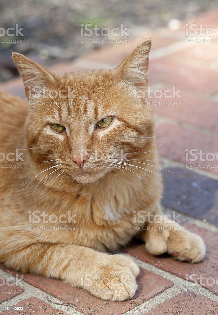 Polydactyl Cat stock photo