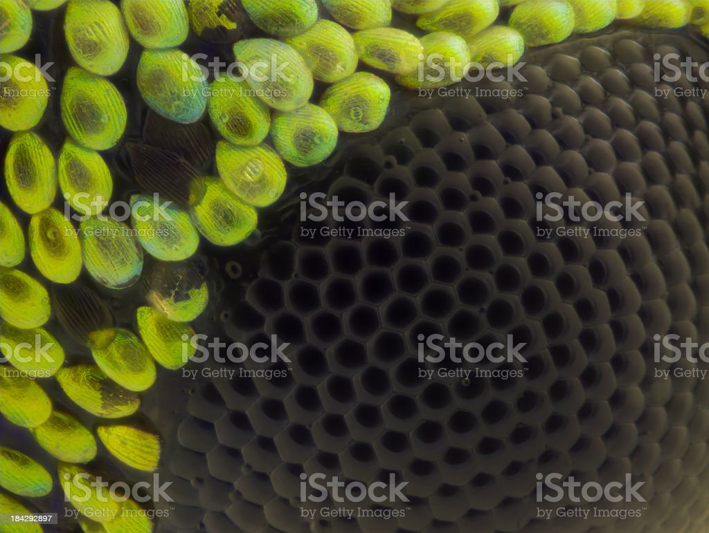 Polydrusus weevil compound eye stock photo