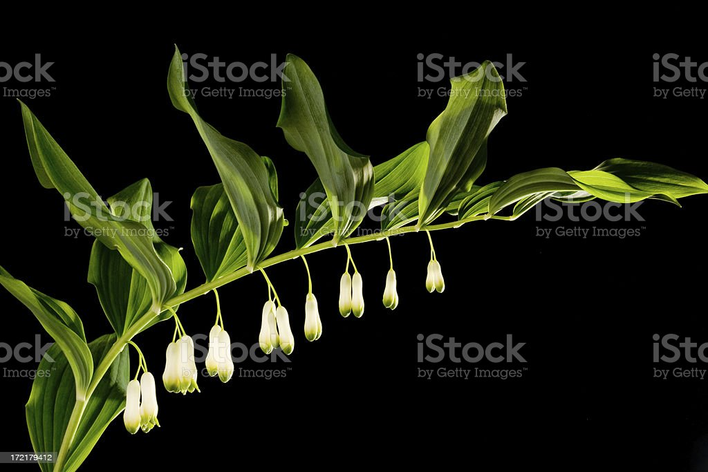 polygonatum x hybridus stock photo