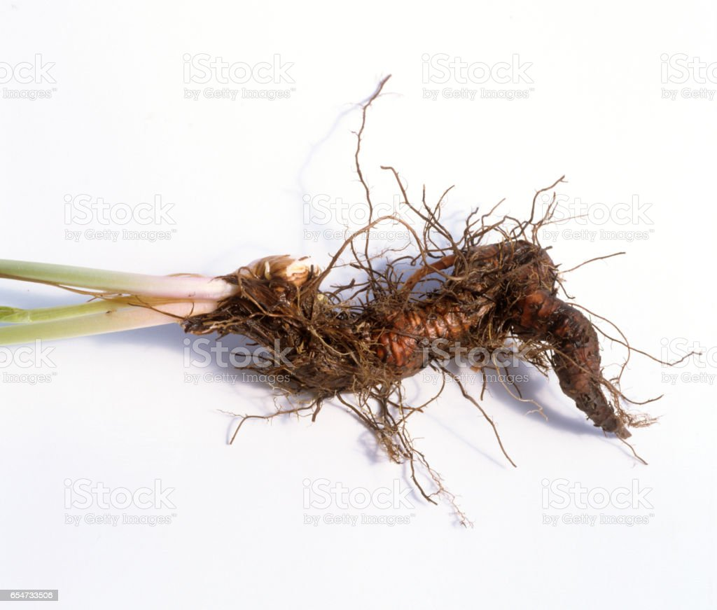 Polygonum; bistorta, root stock photo