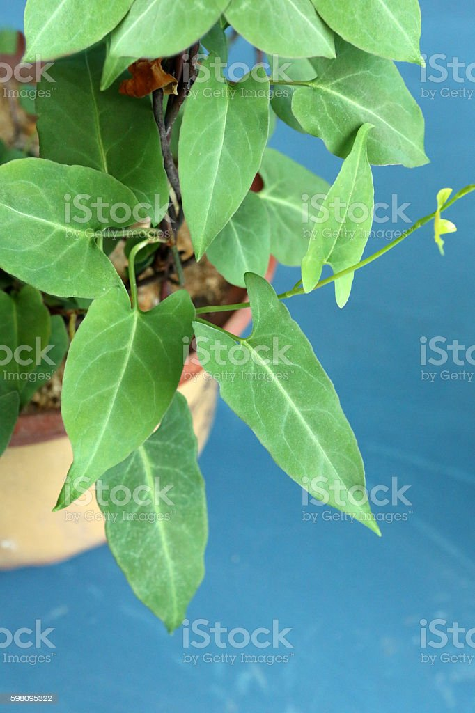 Polygonum Multiflorum Thunb stock photo