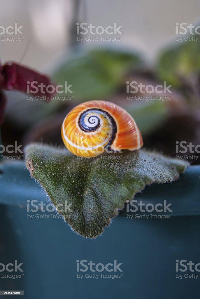 polymita endemic snail Cuba stock photo