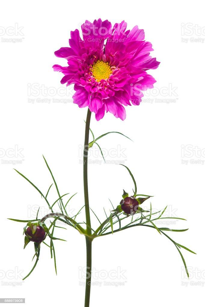 Polypetalous flower stock photo