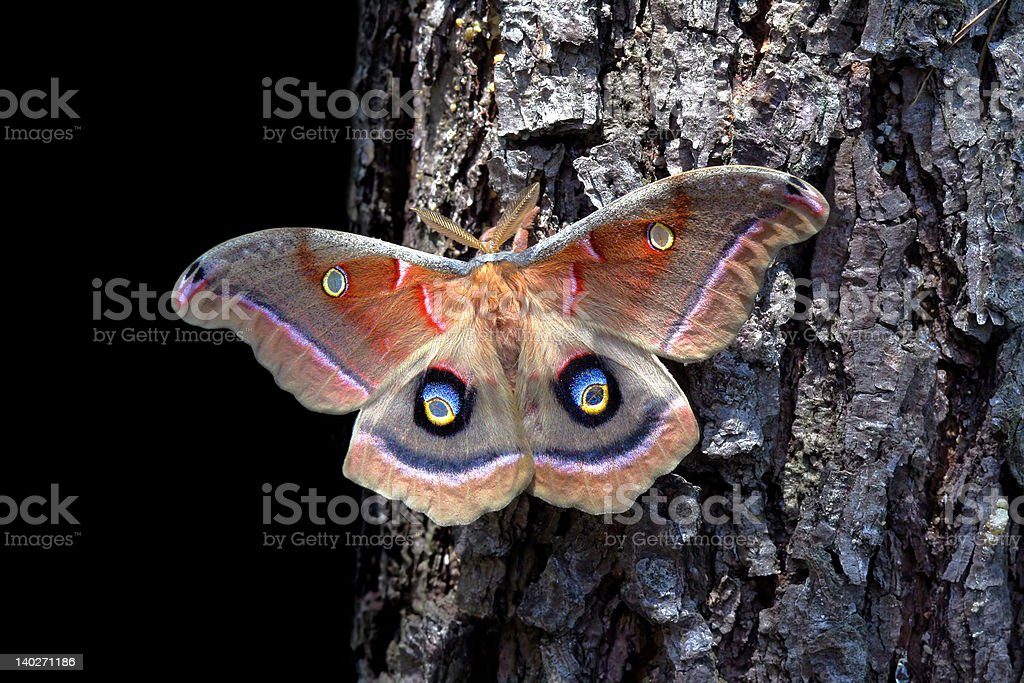 Polyphemus Gypsy Moth stock photo