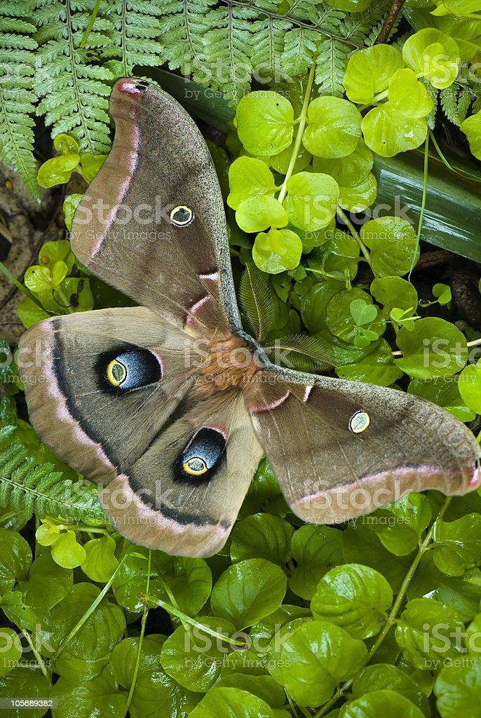 Polyphemus moth royalty-free stock photo