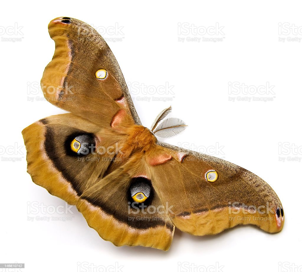 Polyphemus Moth stock photo