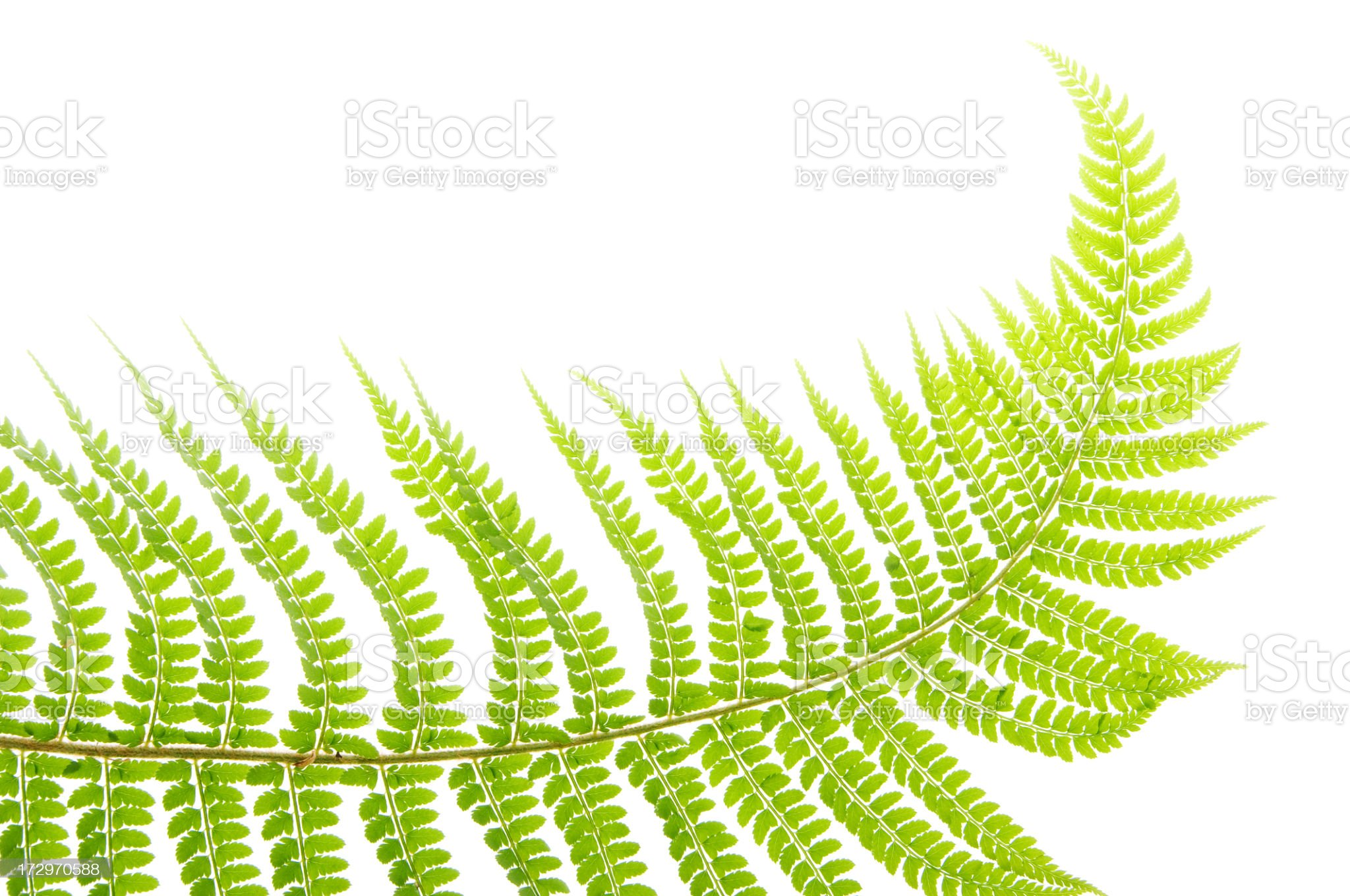 Polypodium vulgare Fern royalty-free stock photo
