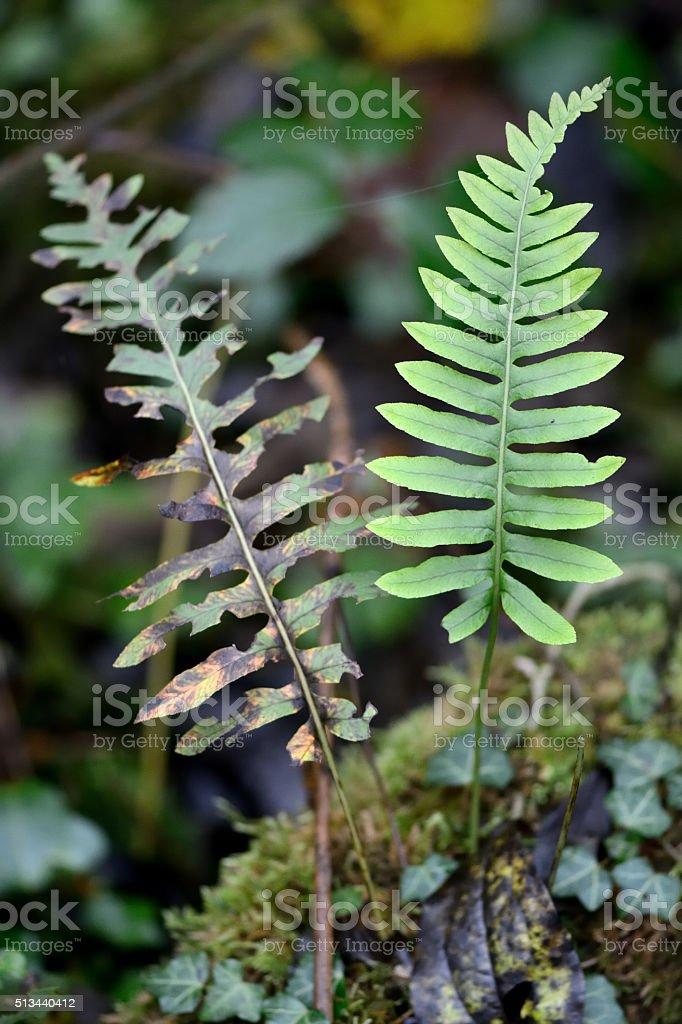 Polypody (Polypodium vulgare) stock photo