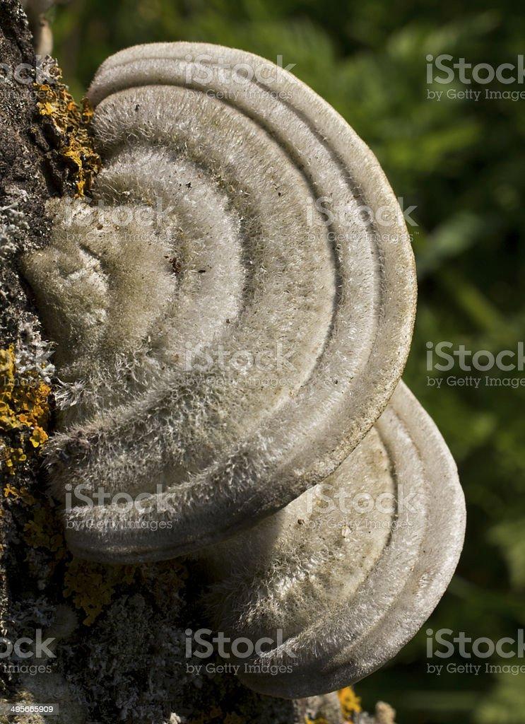 Polypore stiff-haired stock photo