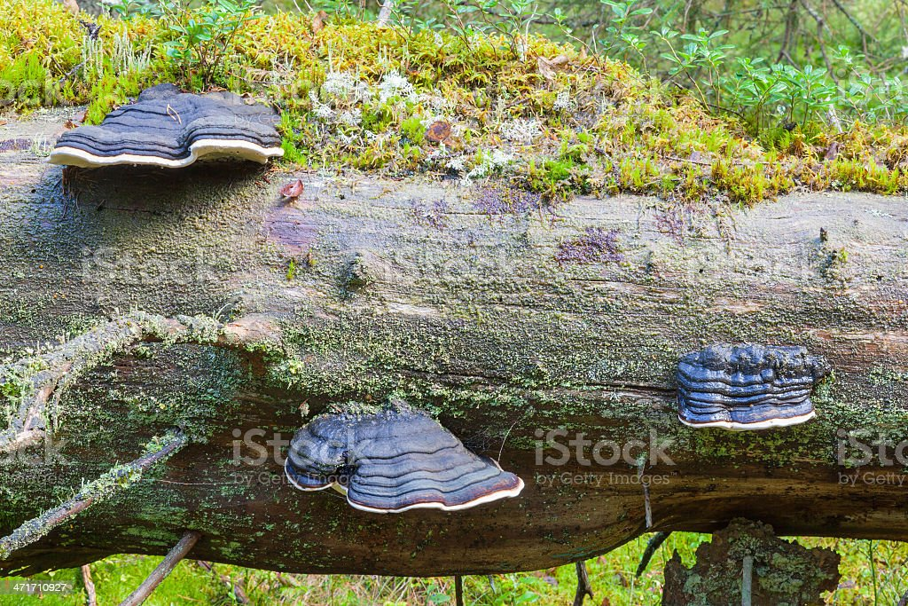Polypores royalty-free stock photo