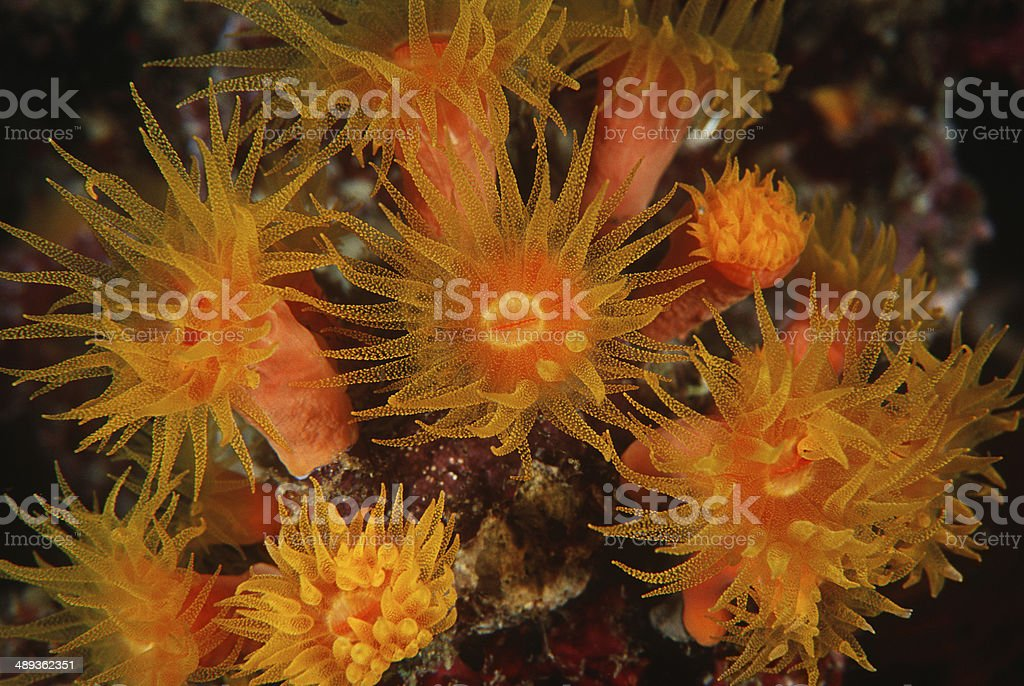 Polyps of cup coral feeding at night stock photo