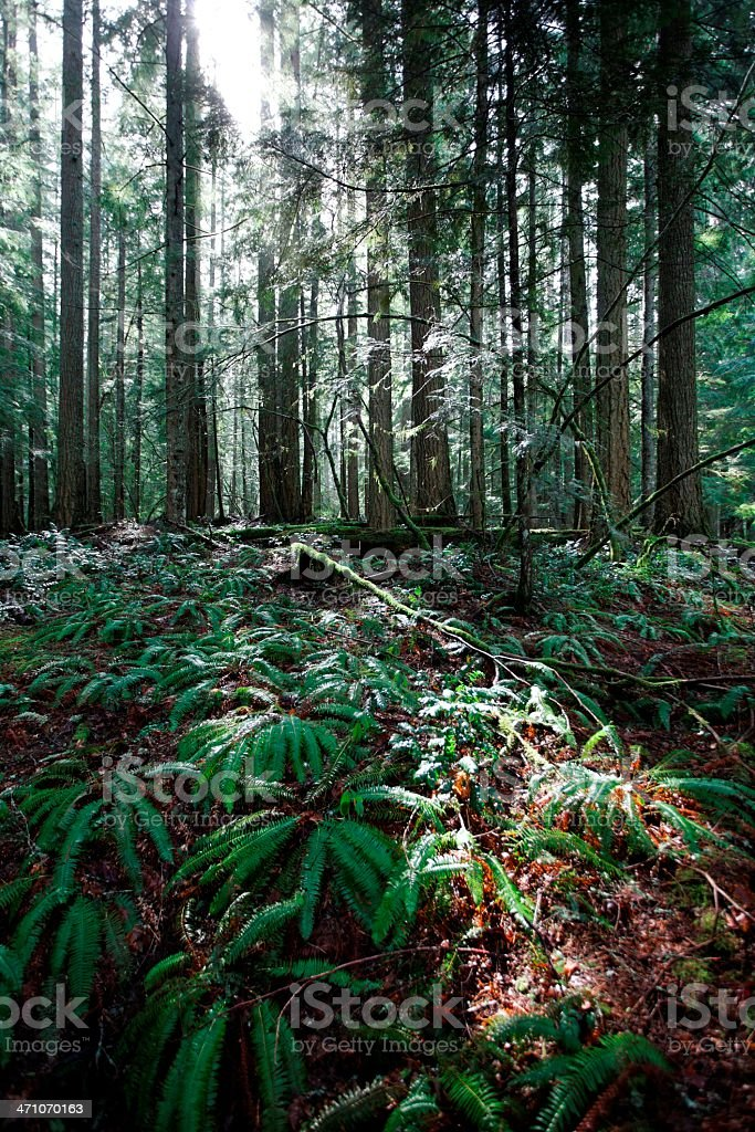 Polystichum munitum or Sword Fern meadow in the forest royalty-free stock photo