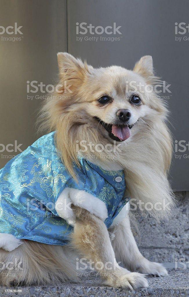 Pom in silk coat stock photo