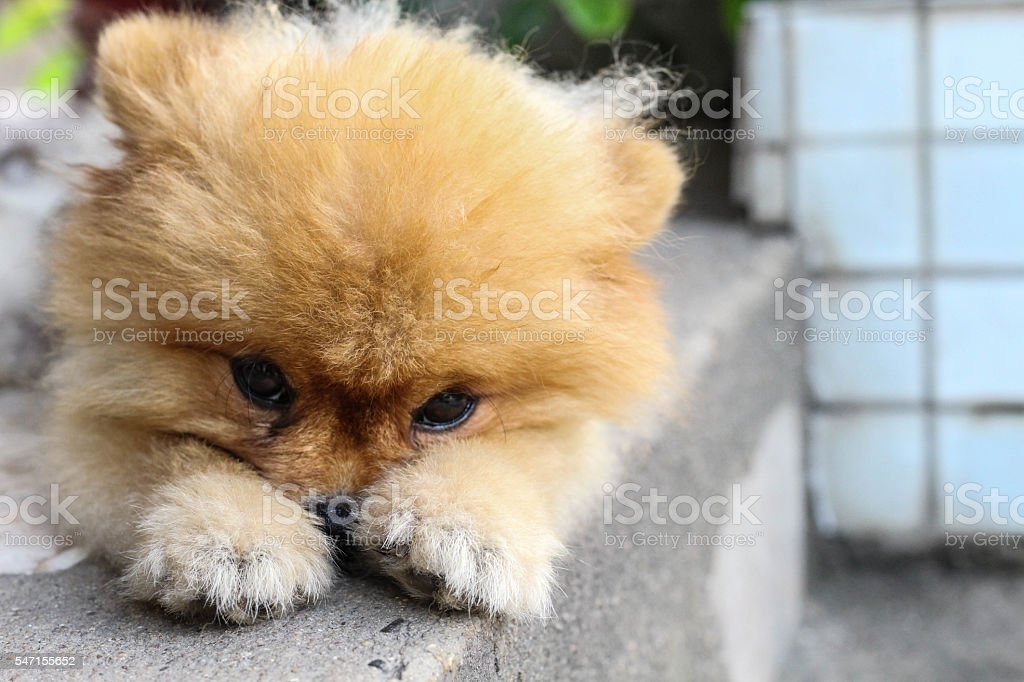 pom pom was waiting for his owner stock photo