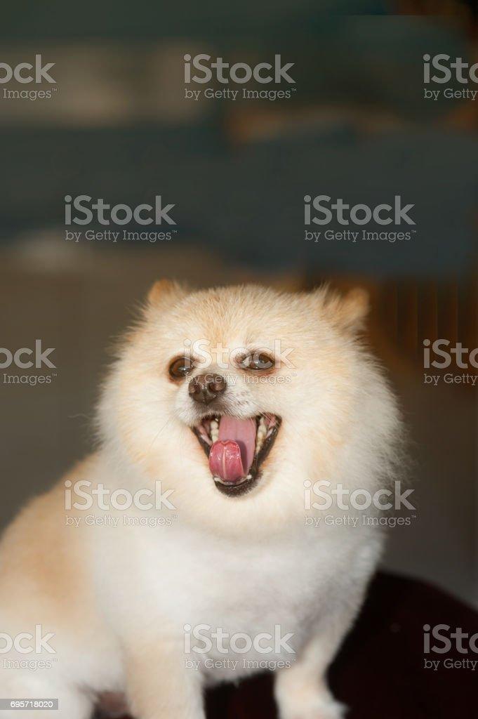 Pom Pomeranian dog is gaping. stock photo