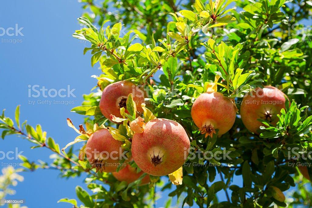 Pomagranate stock photo