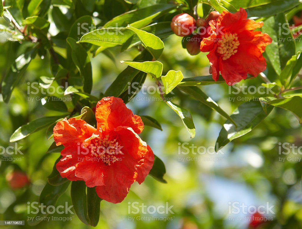 pomegranate blossoms stock photo