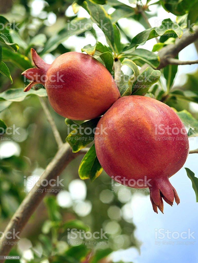 Pomegranate close up stock photo