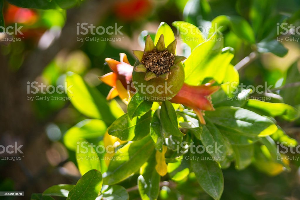 Pomegranate Flower royalty-free stock photo