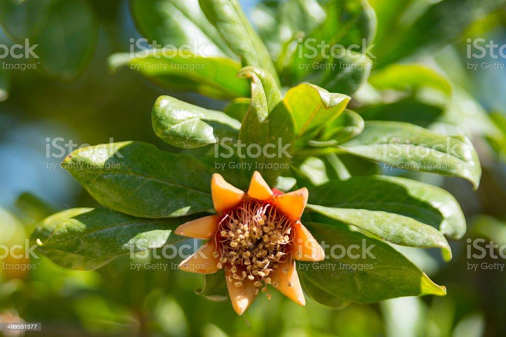 Pomegranate Flower royalty-free stock photo