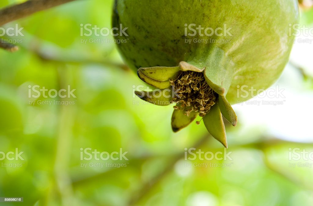 Pomegranate fruit close-up on a branch royalty-free stock photo