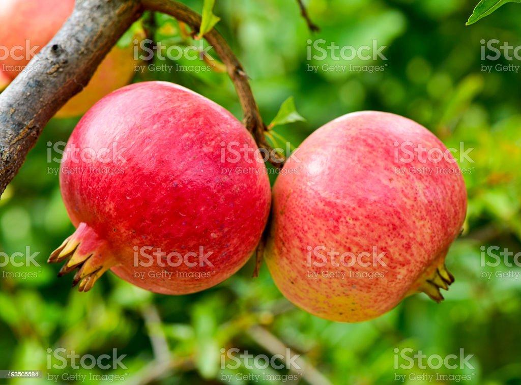 pomegranate fruits hanging on the tree stock photo