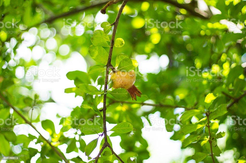 Pomegranate fruits on the tree stock photo