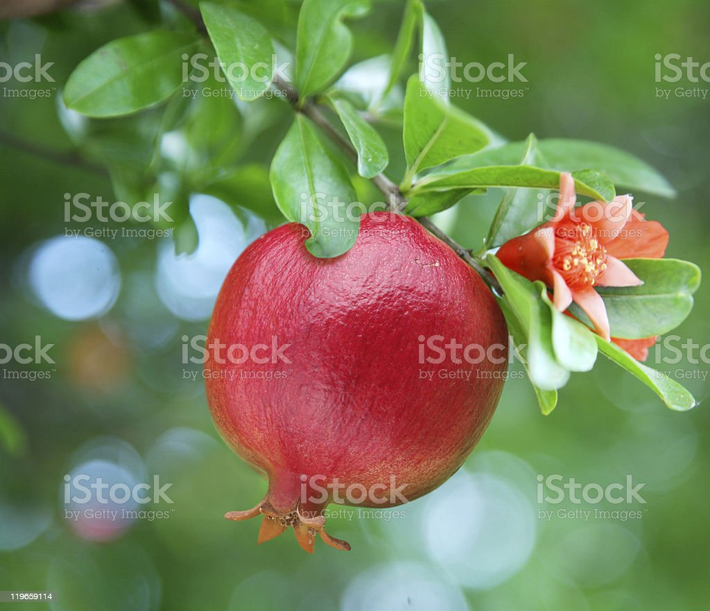Pomegranate growing on a leafy green branch stock photo