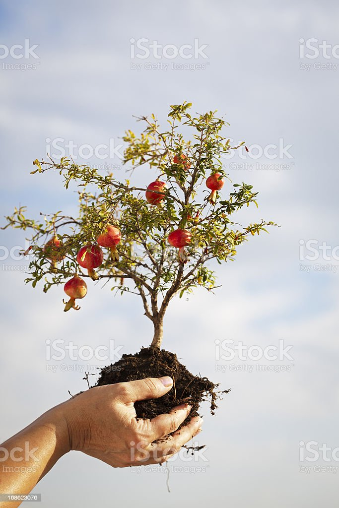 Pomegranate Growth in Human Hand stock photo