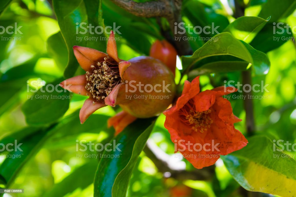 Pomegranate in fruit and flower stage on the tree, green leaves stock photo