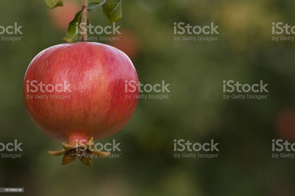 pomegranate on the tree stock photo