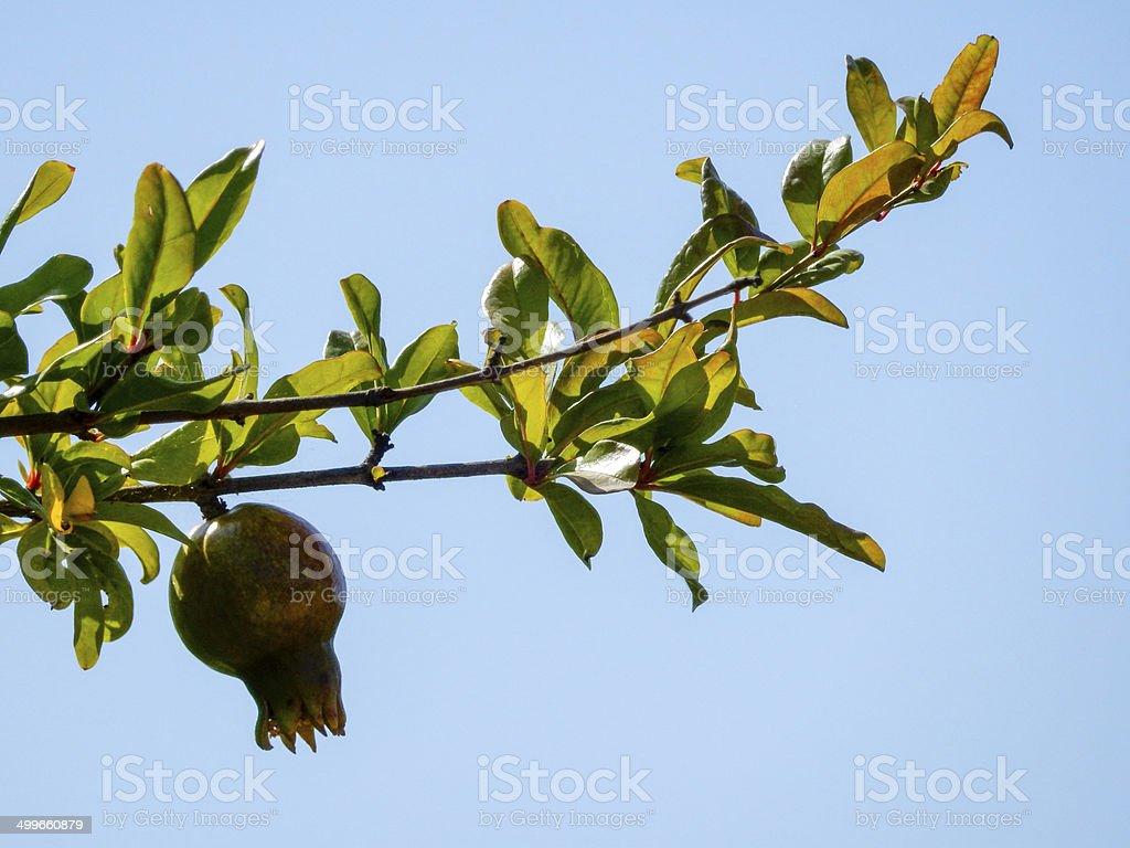 Pomegranate on tree royalty-free stock photo