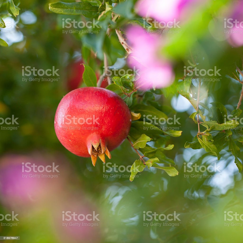 Pomegranate on tree stock photo