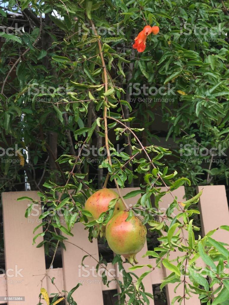 Pomegranate or Punica granatum produce the fruit. stock photo