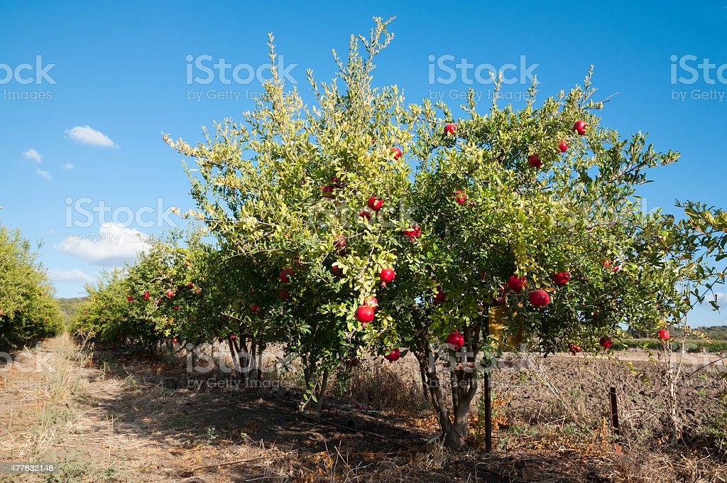 Pomegranate Orchard stock photo