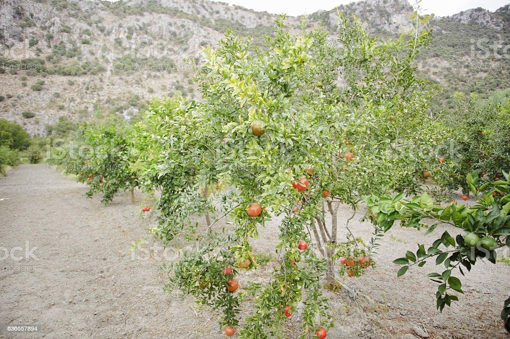 Pomegranate orchard stock photo