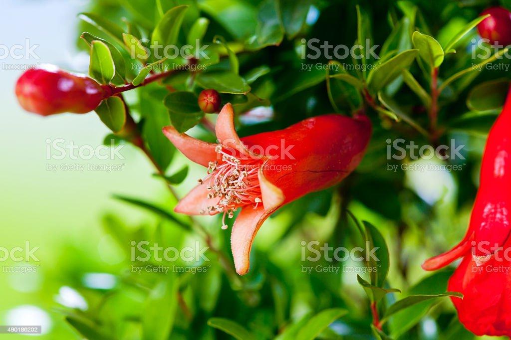 Pomegranate, pomegranate blossom stock photo