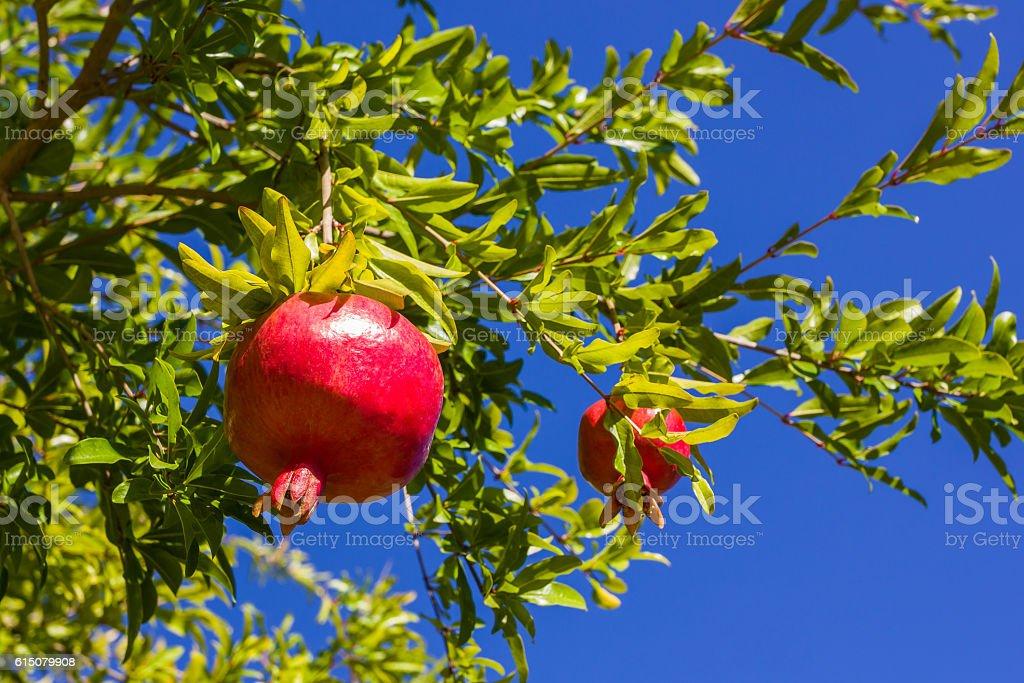 pomegranate, ripening on the tree stock photo