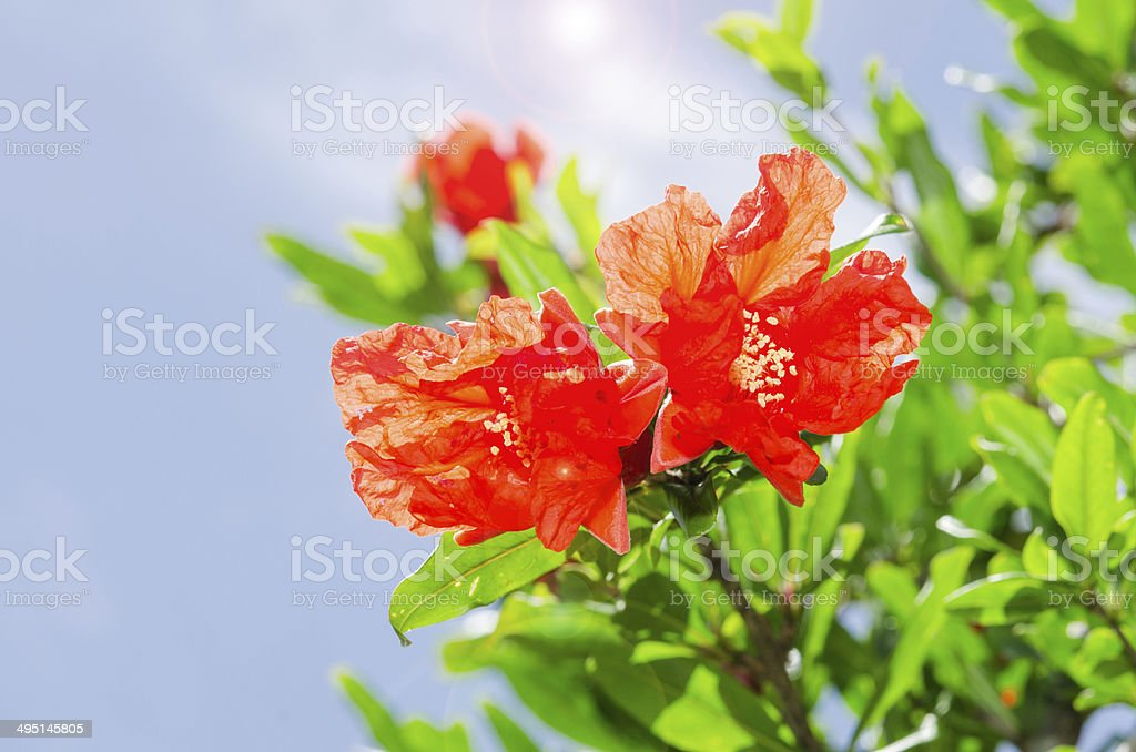 Pomegranate spring blooming branch with backlit red flowers stock photo