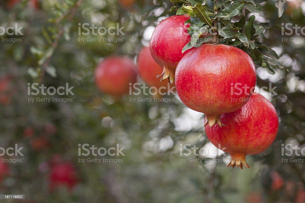 Pomegranate Tree. stock photo