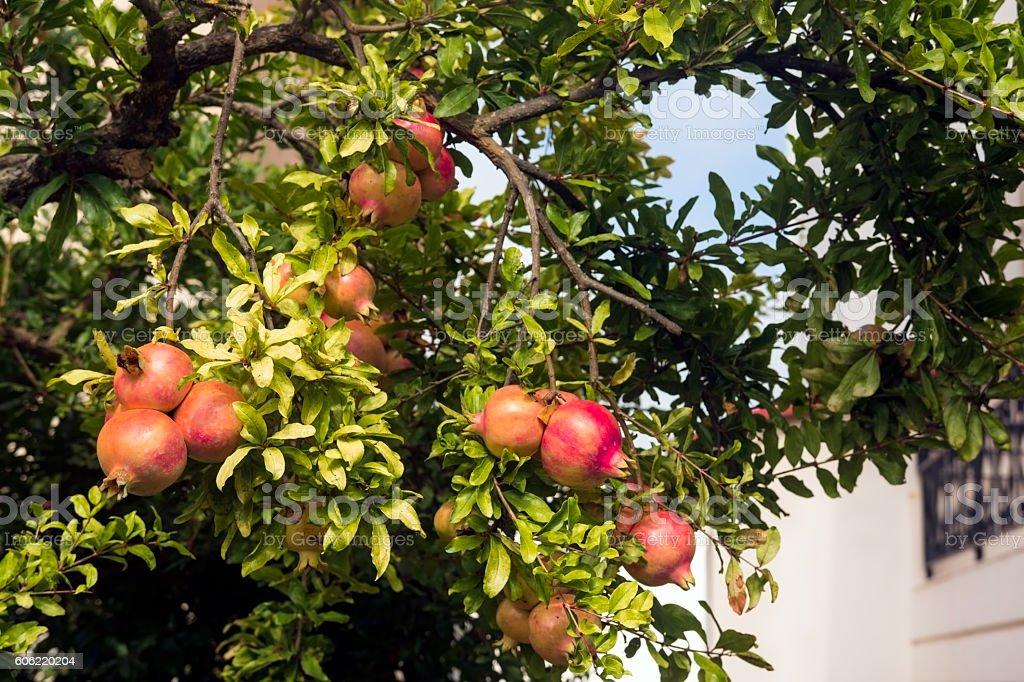 Pomegranate tree under the summer sun stock photo