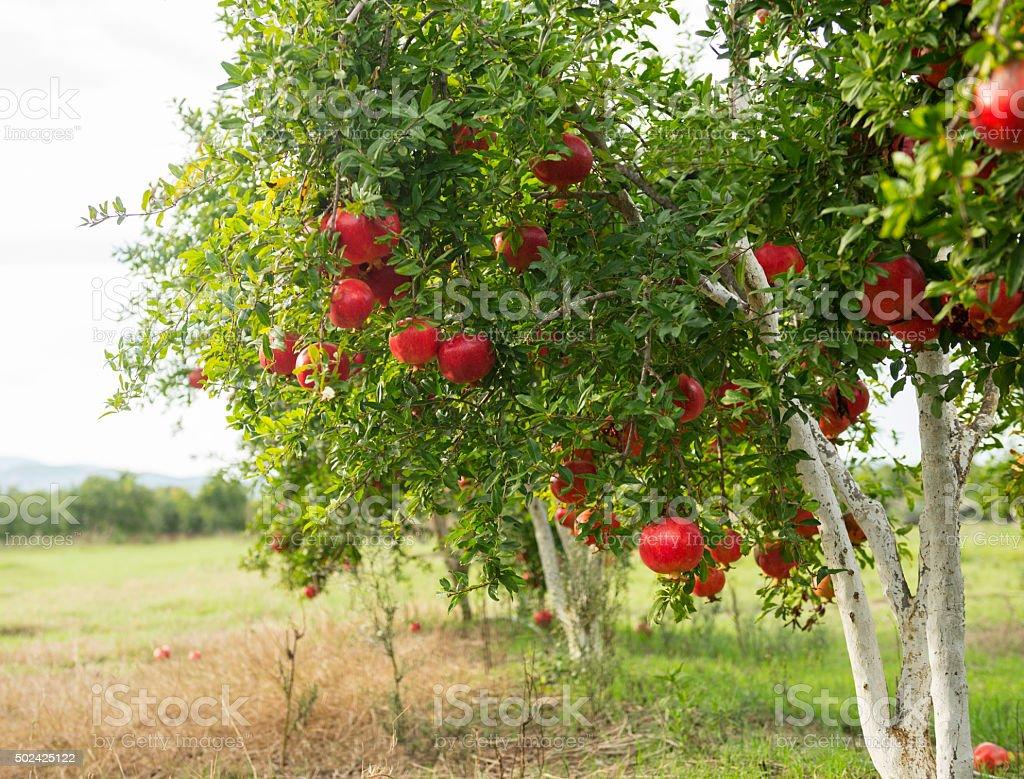 Pomegranate trees at the garden stock photo