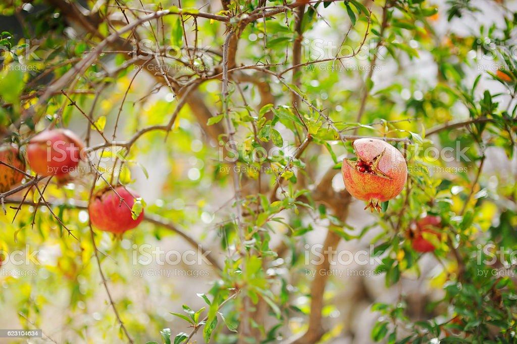 Pomegranates on the tree stock photo